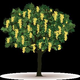 Acácia-Amarela